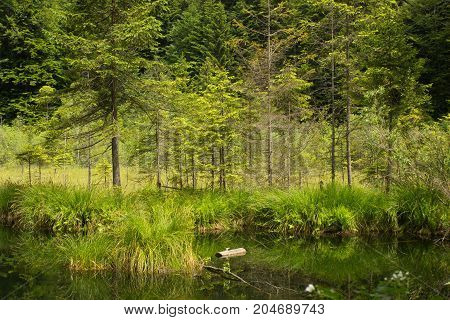 Green coniferous forest, meadow and grass reflection in water. Cranberry or Dead lake Carpathian mountains. National natural park Skole Beskydy, Ukraine. Beautiful outdoor landscape