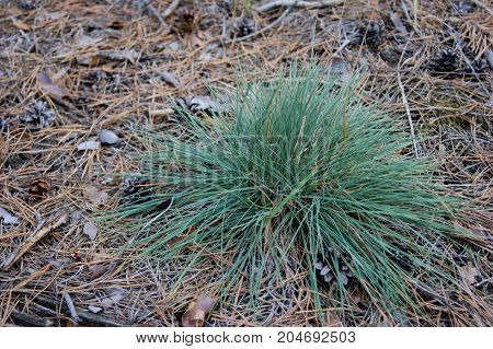 green grass grows in a pine forest. around needles and bumps