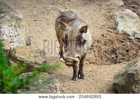 Common warthog (Phacochoerus africanus). Front view. Portrait