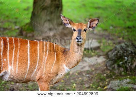 Female nyala antelope (Tragelaphus angasii) in the forest