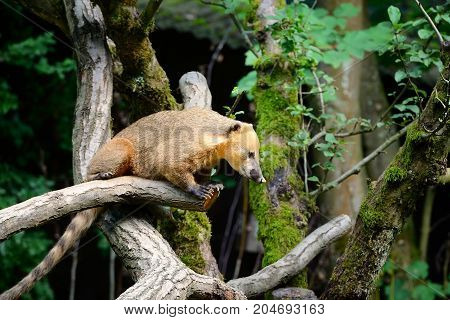 South American Coati (nasua) On Tree Branch