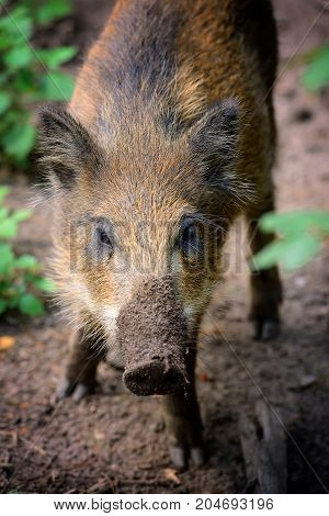 Young Wild Boar In The Forest, Portrait. Selective Focus