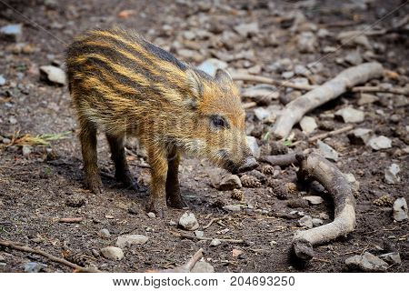 wild boar baby is looking around in the forest