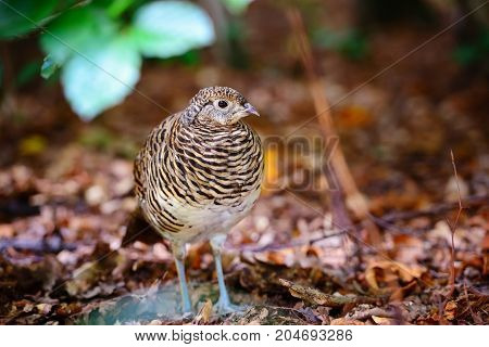 Quail. Common Quail In The Autumn Forest