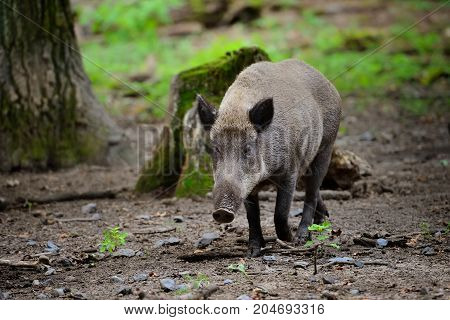 Wild Boar Piglet - Young Wild Boar Runs By The Wood