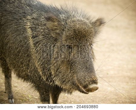 A peccary also known as javelina the wild pig of the American desert