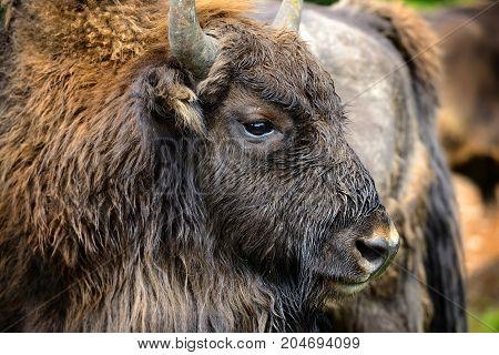 Portrait Of European Bison (bison Bonasus). Wisent.