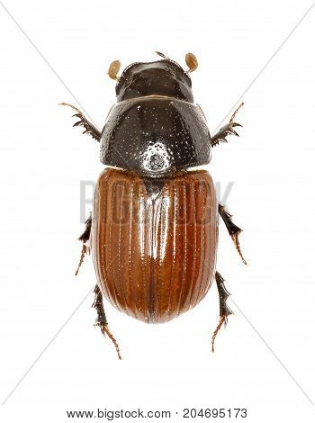 Dung Beetle Aphodius on white Background - Aphodius fimetarius (Linnaeus 1758)