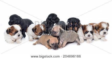 group of puppies in front of white background