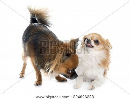 two long hair chihuahuas in front of white background
