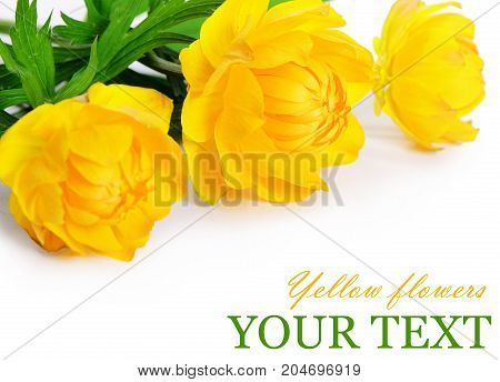 Beautiful Yellow Flowers Isolated On White