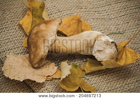 White mushroom with yellow dry leaves on a background of natural burlap