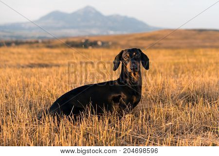 dog (puppy) breed dachshund black tan playing and walking on a autumn grass and mountains in the park.