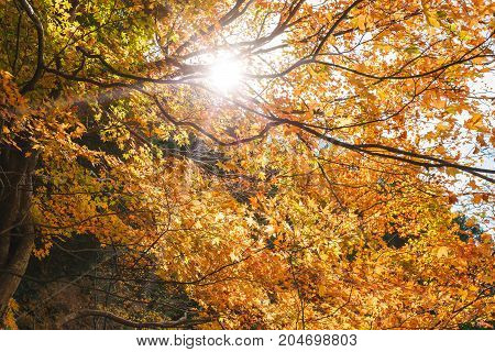 Yellow autumn leaves background and sun shines through the leaves concept travel in kyoto japan.