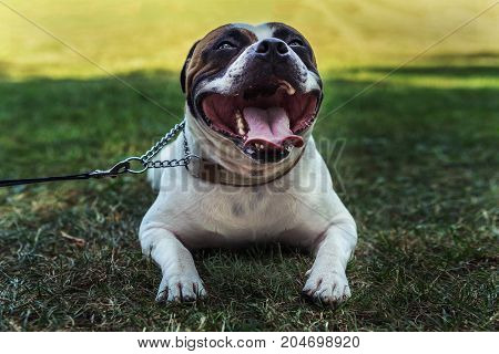 staffordshire bull terrier dog sticking out his tongue lies on the green grass