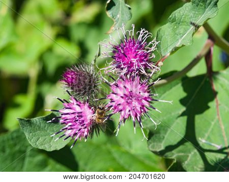 Flowers on Wood Burdock or Arctium nemorosum macro selective focus shallow DOF.