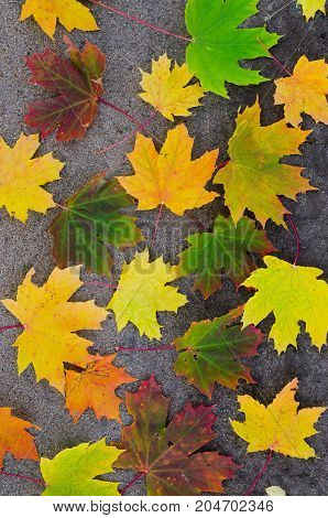 Fallen autumn yellowed maple leaves on the ground