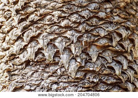 Natural pattern from the bark on the trunk of the date palm tree .