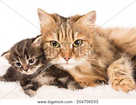 Cute siberian cat with little kitten over white background