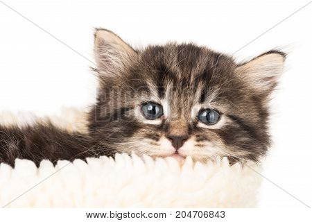 Cute fluffy siberian kitten in the warm scarf isolated over white background