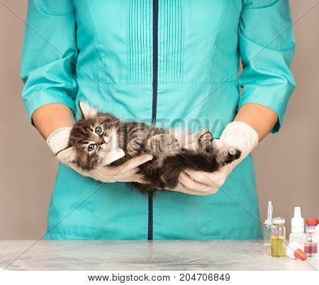 Veterinary survey of cute frightened siberian kitten over grey background