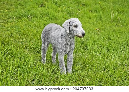 a female Bedlington Terrier recently clipped stands in a field.
