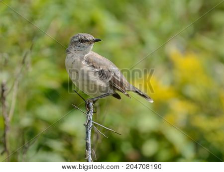 A young Mockingbird (Mimus polyglottos), sitting on a branch, looking backwards over its left wing in Kleinsfeltersville, Pennsylvania, USA.