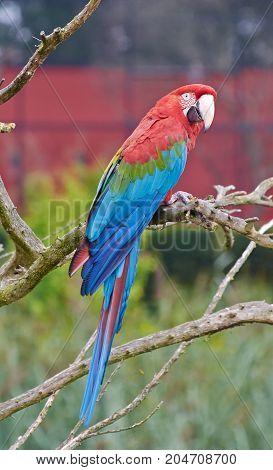 Portrati of scarlet macaw (Ara macao) full body close up.