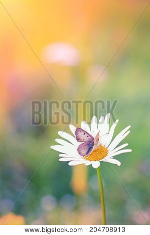 Close Up Shot Of A Butterfly On A Daisy.