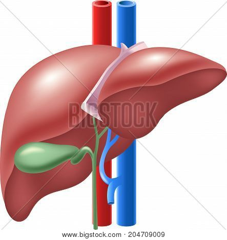 Vector Illustration of Human Liver and Gallbladder