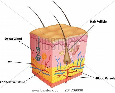 Illustration of The layers of skin and pores anatomy