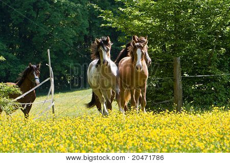 Pony stallions gallop on yellow meadow
