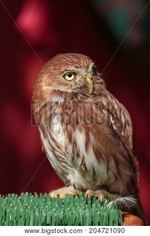 Portrait Of Little Burrowing Owl With Brown Plumage And Yellow Eyes