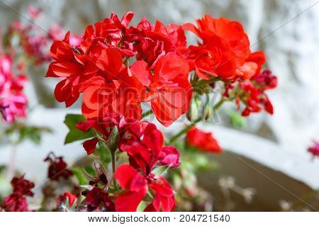Small Fly On Red Geranium Flowers