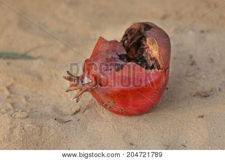 Overripe Fruit Of Pomegranate
