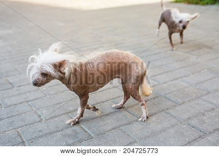 A small bald dog with a mane. Lovely pet. A dog with a short coat. A domestic dog. The dog runs on the street. Dog in the background