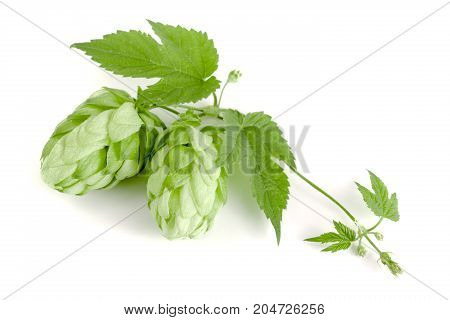 hop cone with leaf isolated on white background close-up.