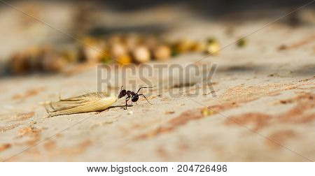 Hey ant dragging an oat seed preparing for winter
