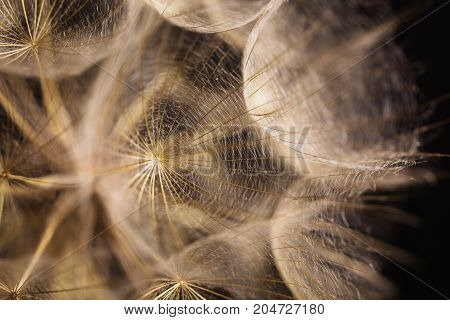 Abstract macro photo of a dandelion on black background. Dandelion on a black background. An abduction with a dandelion. Seeds of dandelion. White dandelion.