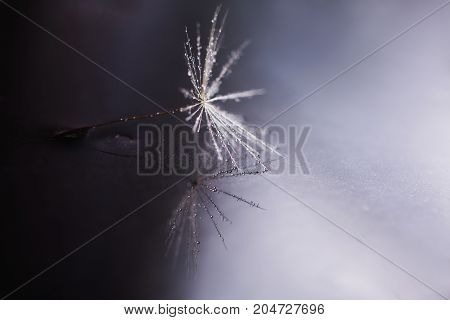 Abstract macro photo of a dandelion seed with water drops on a dark background. Rain drops on dandelion seed.  Dandelion seed background. White dandelion seed