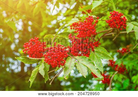 Autumn nature. Red autumn elderberry on the branch under soft sunlight.Autumn nature background. Autumn elderberry in the early autumn forest. Colorful autumn nature scene with elderberry tree