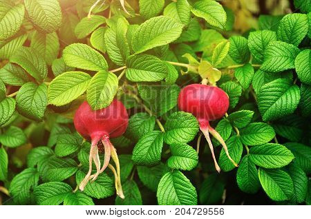 Autumn nature. Bright red autumn rosehip berries, closeup. Autumn background with red autumn rose hip berries. Colorful autumn nature view of autumn rose hip berries. Autumn nature scene