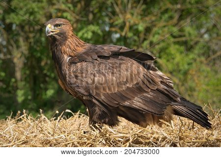 A full length portrait of an inquisitive golden eagle standing on a bale of hay with a natural backdrop of trees