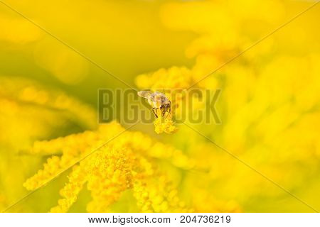 Solidago, Goldenrod Yellow Flowers In Summer. Lonely Bee Sits On A Yellow Flowering Goldenrod And Co