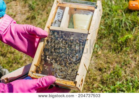 Tribal thoroughbred queen bee with a label in the nucleus behind the glass. Breeding of queen bees. Beeholes with honeycombs. Preparation for artificial insemination of queen bees. Natural economy.