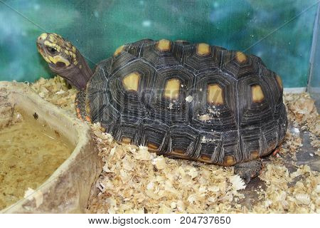 A Large Swamp Turtle