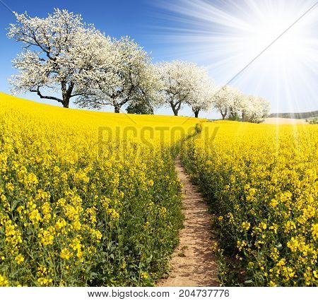 Rapeseed canola or colza field with parhway sun and alley of flowering cherry trees - Brassica Napus - rape seed is plant for green energy and oil industry - spring time view