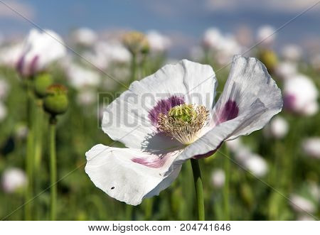 Detail of flowering opium poppy in Latin papaver somniferum poppy field white colored poppy is grown in Czech Republic