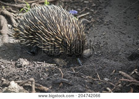 the echidna is digging looking for food