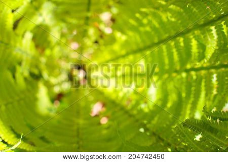 Center of fresh fern bush. Nature background. Summer green forest. Plants pattern.